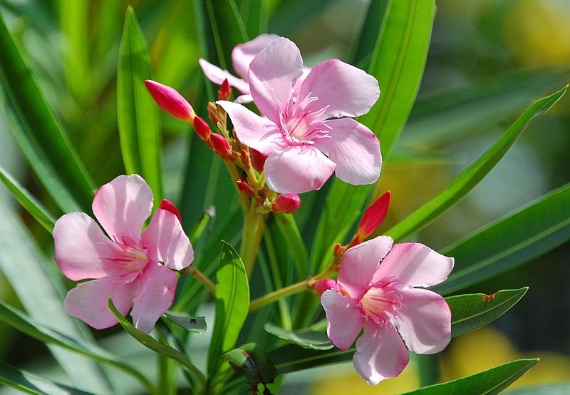 American Botanical Council Warns Consumers about High Toxicity of Oleander 6