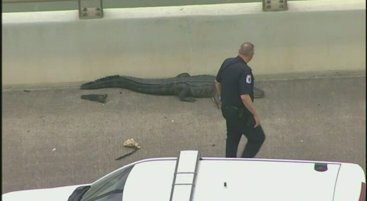 Caught on video: Alligator, cow block Houston traffic and turn commute into zoo 13